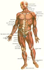 The muscles and tendons of the human body