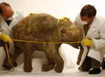 mummified baby mammoth