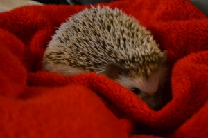 hedgie hedgehog