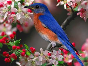 blue-bird-wallpaper-4