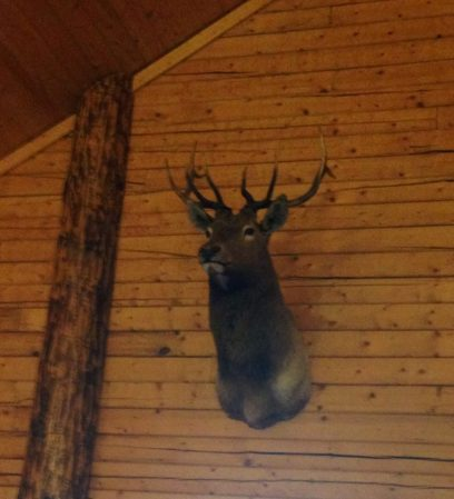 Elmer the Elk Surveys his Domain: the Snow Wolf Lodge Dining Hall