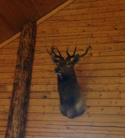 Elmer the Elk Surveys his Domain: the Snow Wolf Lodge Dining Hall