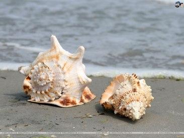 seashell3