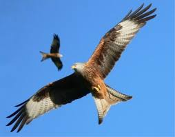 image-buzzard2